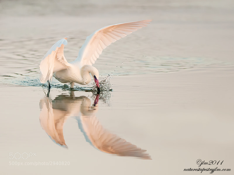 The reddish Egret White Morph was captured fishing just minutes before sunset.  They are so beautiful and with the setting sun they took on almost a pinkish color.
