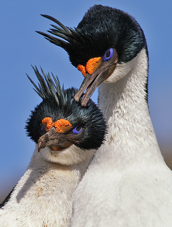 Photograph King Cormorants court at their nest site IMG_8176 by Charlie Summers on 500px