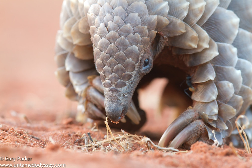 Photograph Pangolin by Gary Parker on 500px