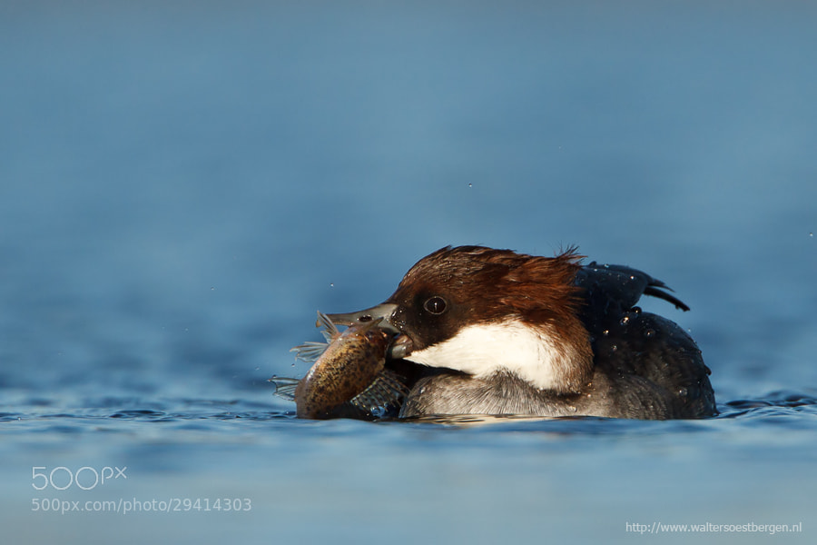 Photograph Smew with Ruffe by Walter Soestbergen on 500px