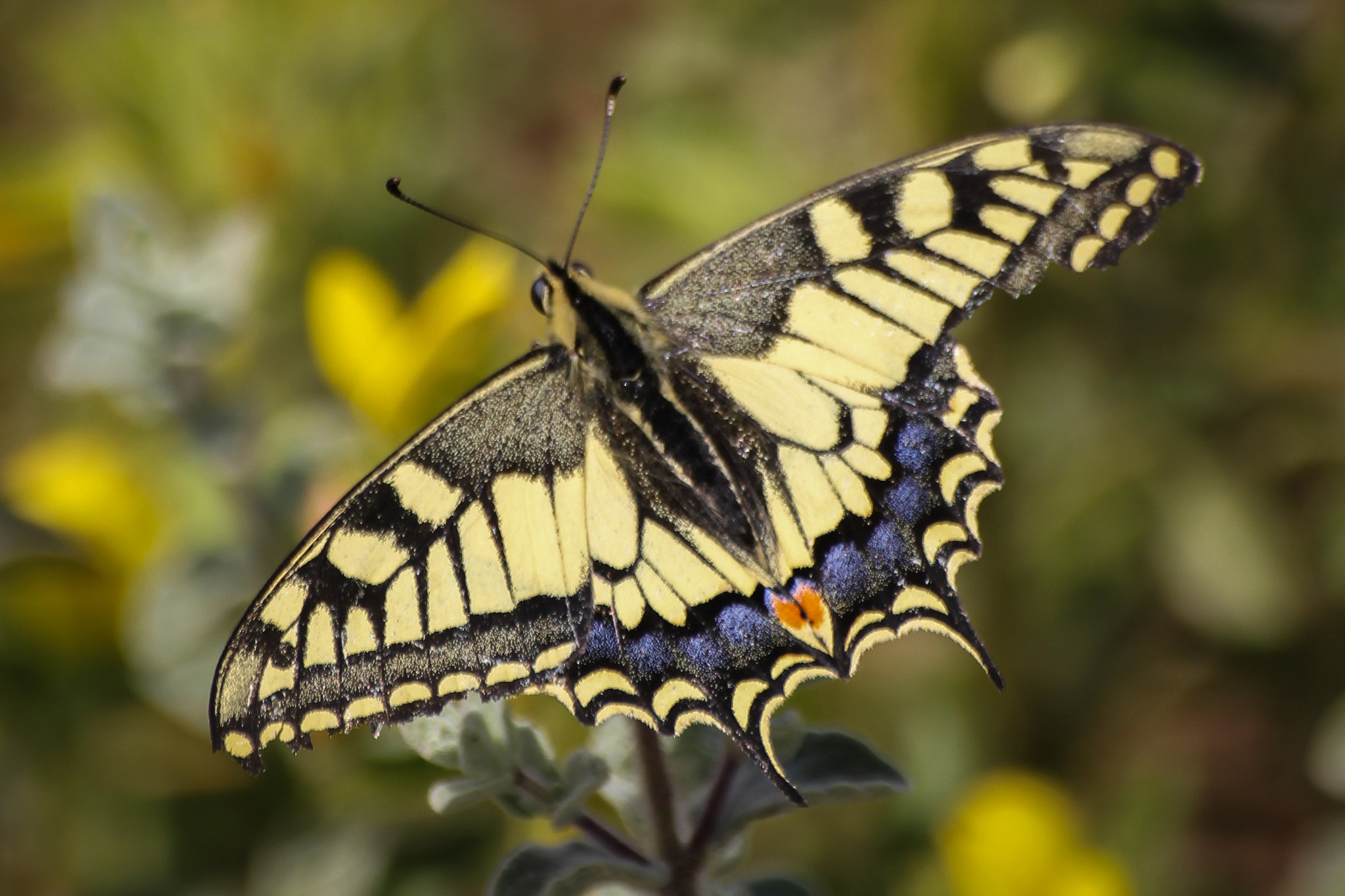 Photograph damaged Swallowtail (Papilio machaon) by Ofer Perl on 500px