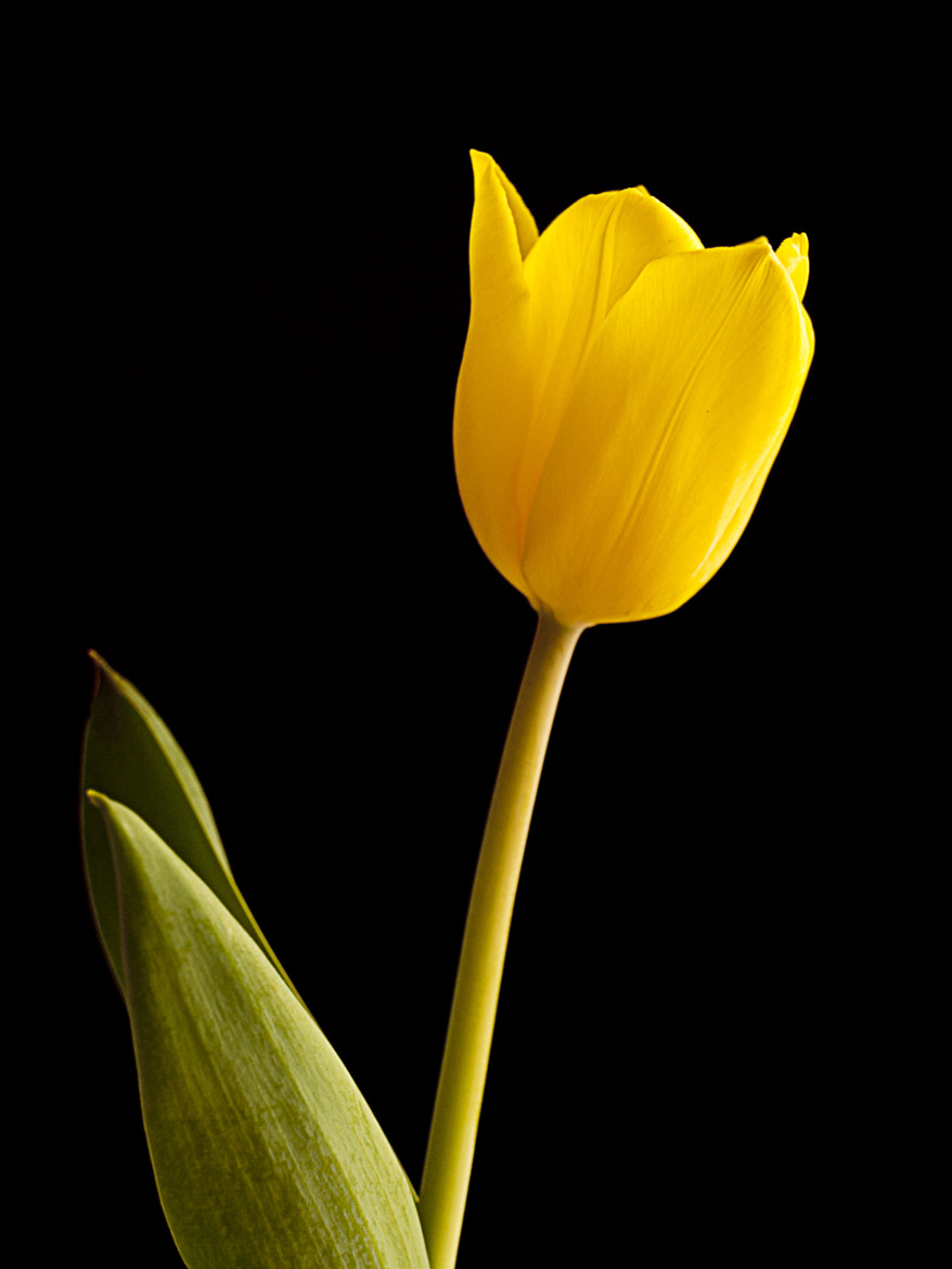 Photograph Lone Tulip by Steve Harrison on 500px