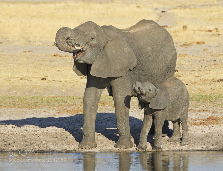 Calf and mum practice their drinking skills, taken at Ngweshla waterhole, Hwange national Park, Zimbabwe. From our usual afternoon on camping chairs, bliss!