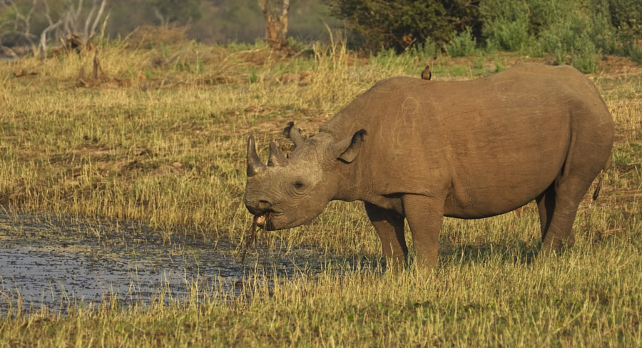 This is Mvuru the famous resident of Rhino Island, she was pregnant when tis image and has now given birth to a calf, unfortunately we missed them on our last visit. But she and baby are back, I am hoping to be sent some images soon