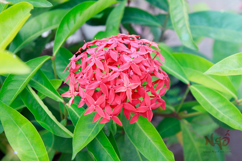Photograph Ixora in the Sun by [Ngố] Photo on 500px