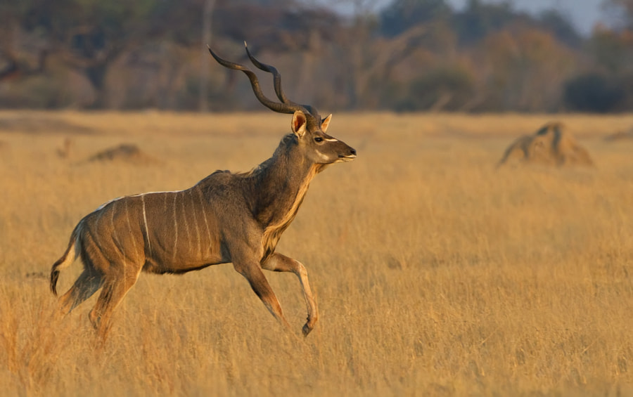 This image was recently described by somebody as the best Kudu image he had ever seen, I could not agree with that but it is certainly the best I have taken. Taken in Hwange National Park, Zimbabwe