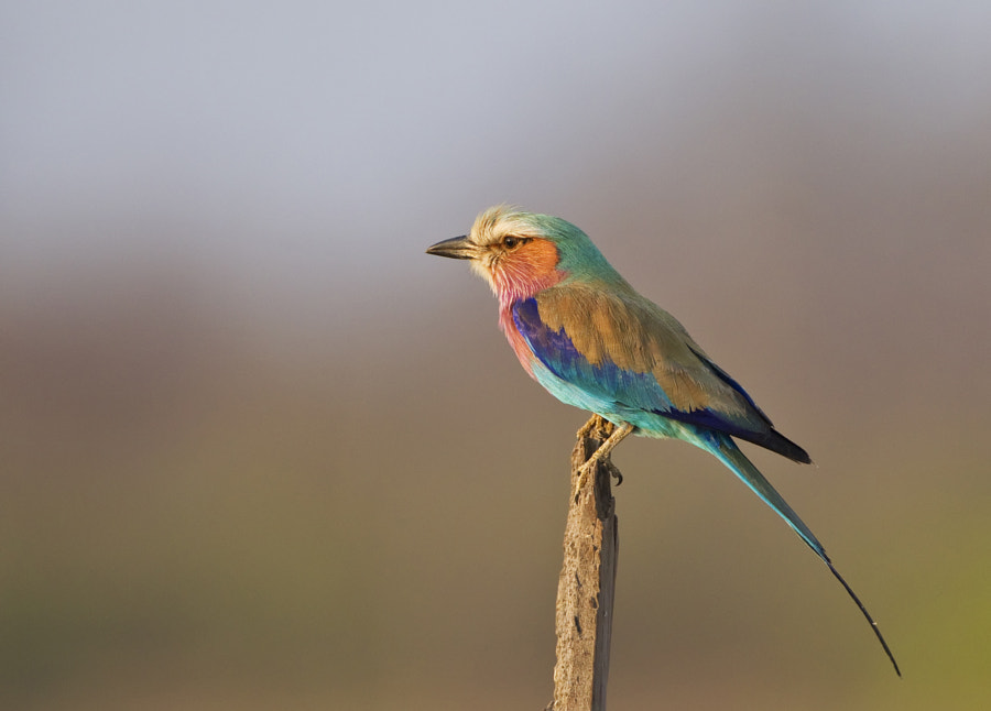 Known by tourists from the UK as Essex Birds, beautiful until it starts to sing.  Taken on Rhino Island, Matusadona National Park, Zimbabwe