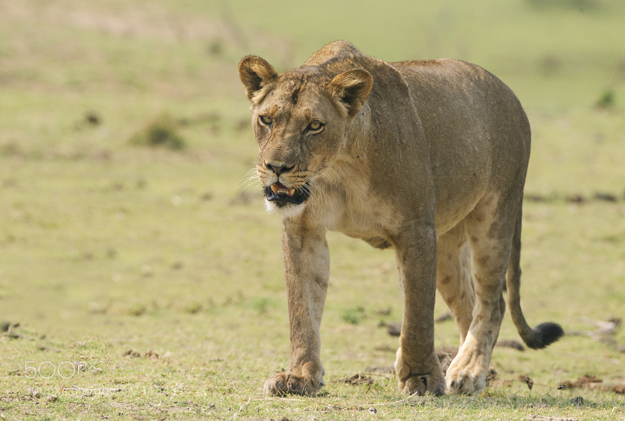This Lioness had been laying in the sun too long and was on her way to join her sisters to finish off the Buffalo they had killed earlier that morning. If looks could kill?
