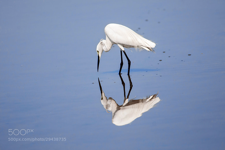 Photograph Egret by Shobin George on 500px