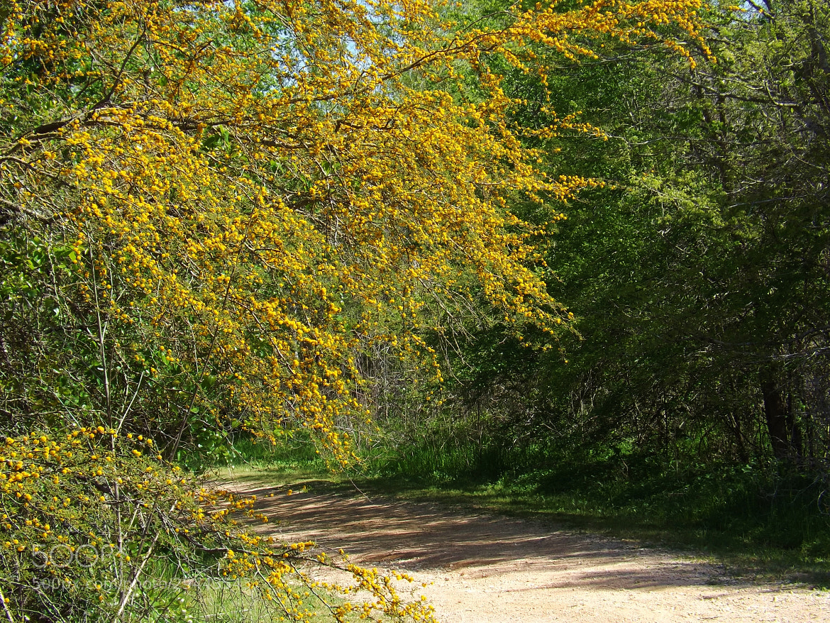 Photograph pathway-huisache tree by Shirley Johnson on 500px