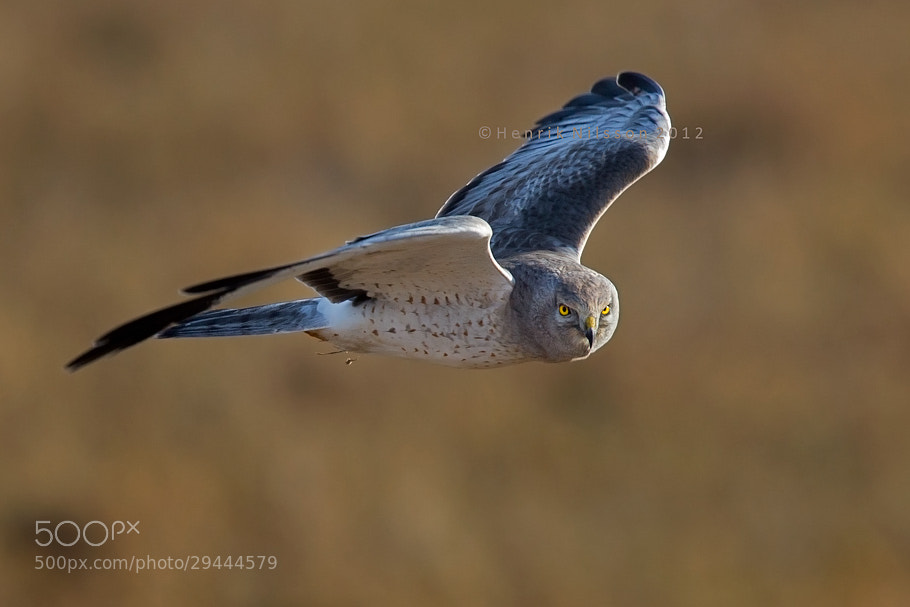 Photograph Male Harrier by Henrik Nilsson on 500px
