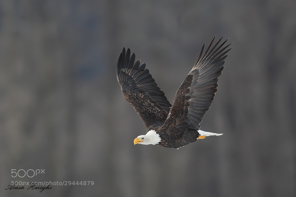 Photograph Bald Eagle by Ari Hazeghi on 500px
