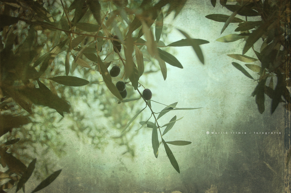 Photograph Olivo - Olive by Mariló Irimia on 500px
