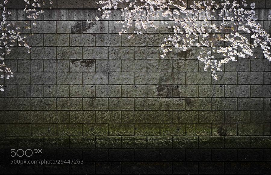 SAKURA by Hitoshi NAKAMURA (hitoshi)) on 500px.com