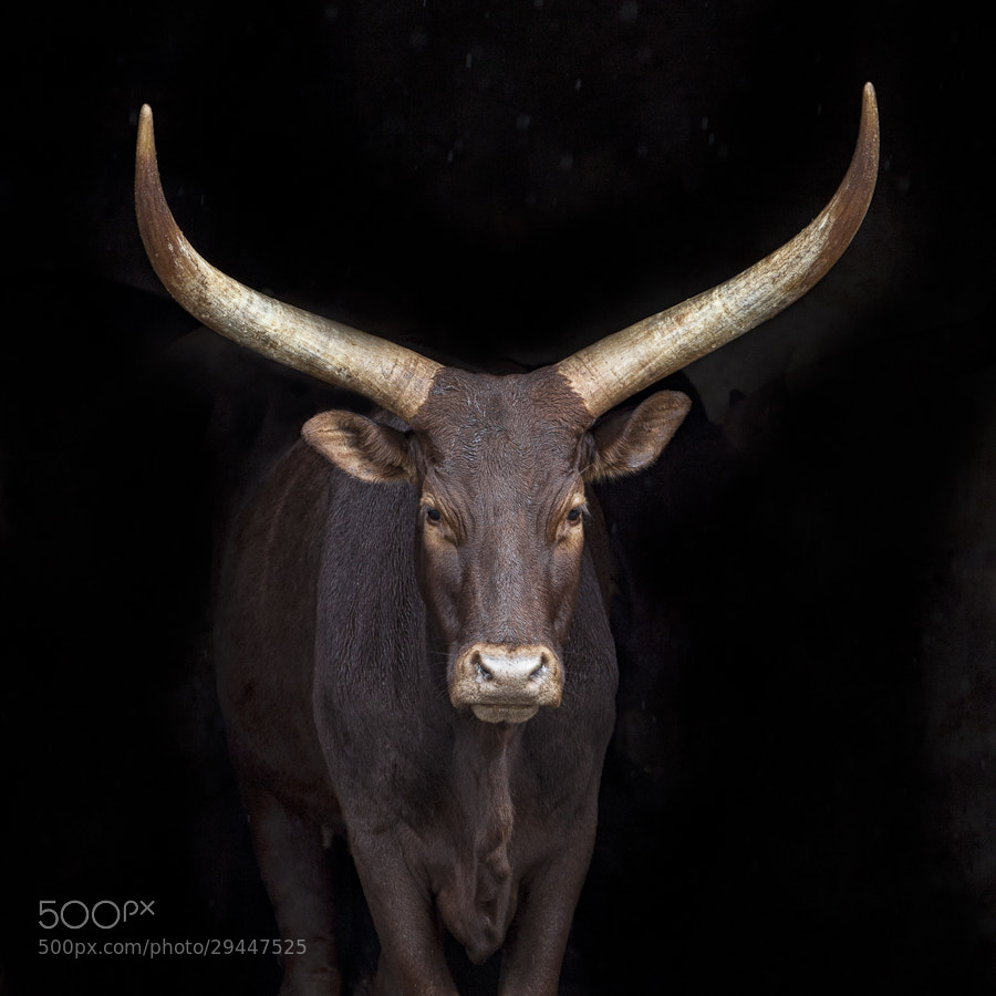 Photograph Big Horns by Mario Moreno on 500px