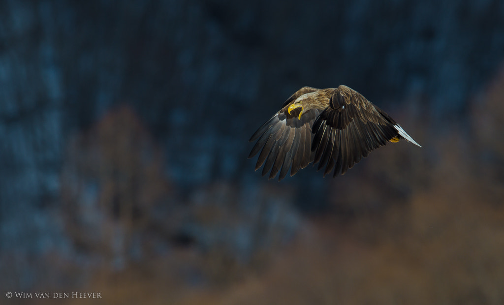 Photograph WhiteTailed Eagle by Wim van den Heever on 500px