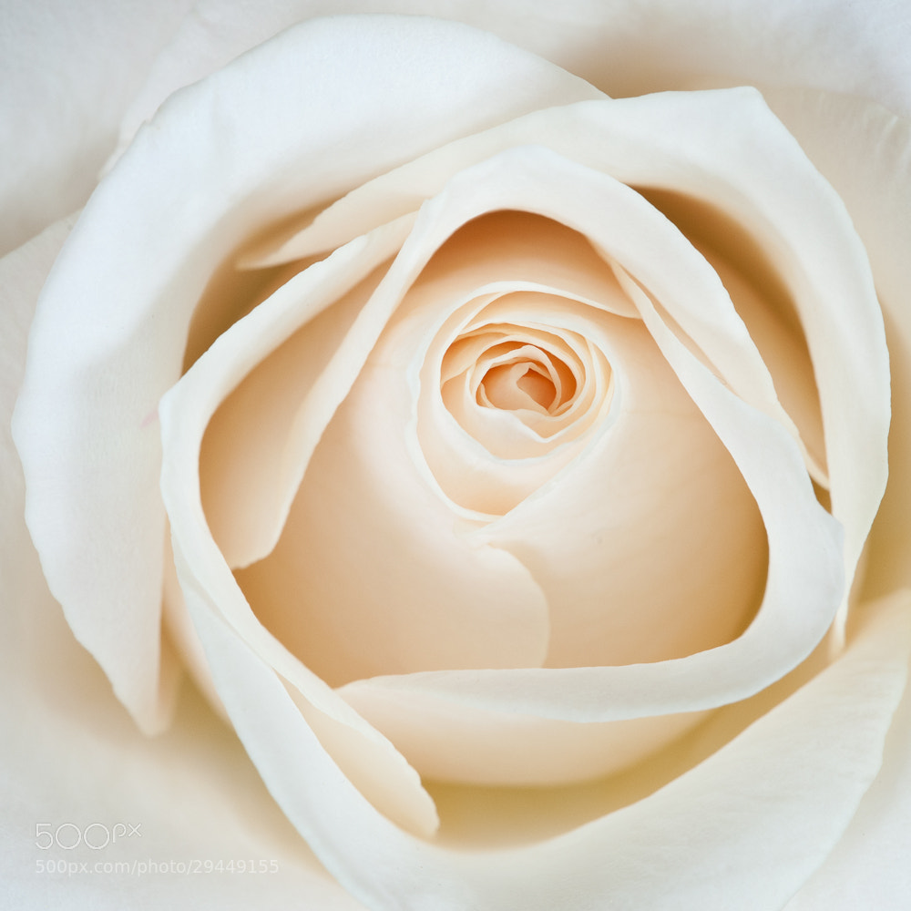 Photograph White Rose by Jarle Løv-Kjeldås on 500px