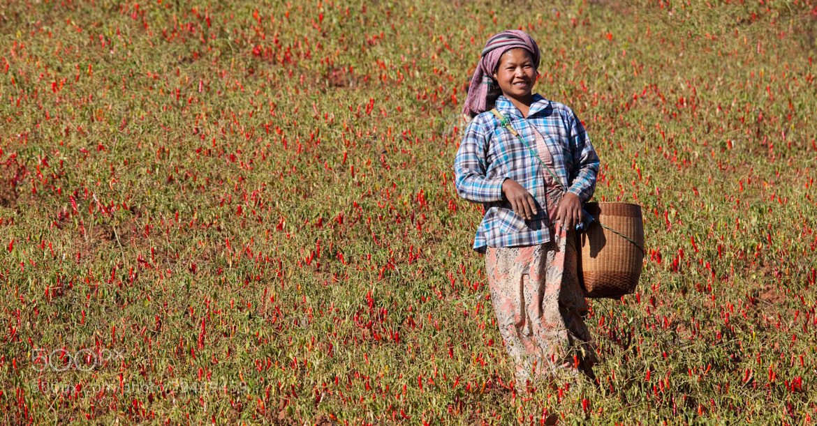 Photograph Chilli picker near Inle Lake, Myanmar by Guy Brown on 500px