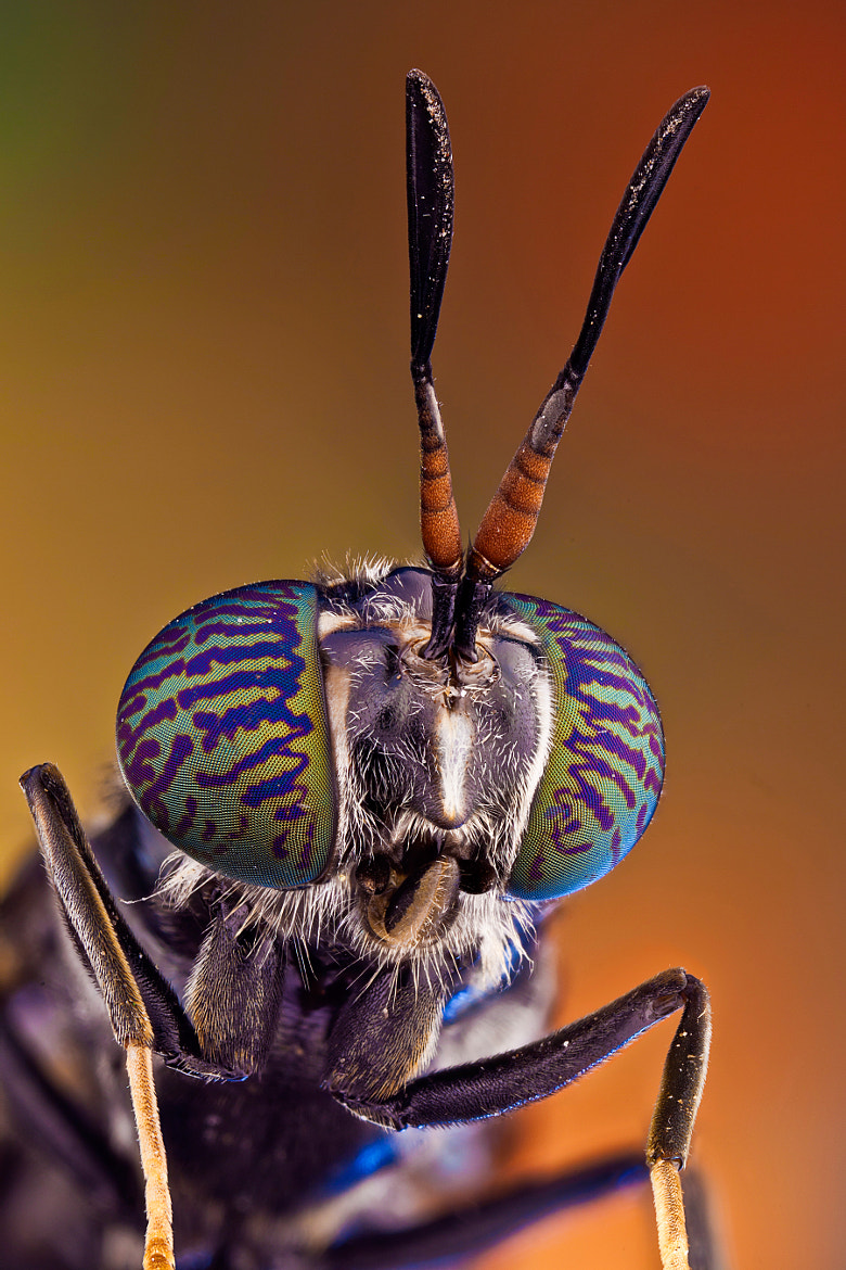 Photograph Soldier fly by Javier Torrent on 500px
