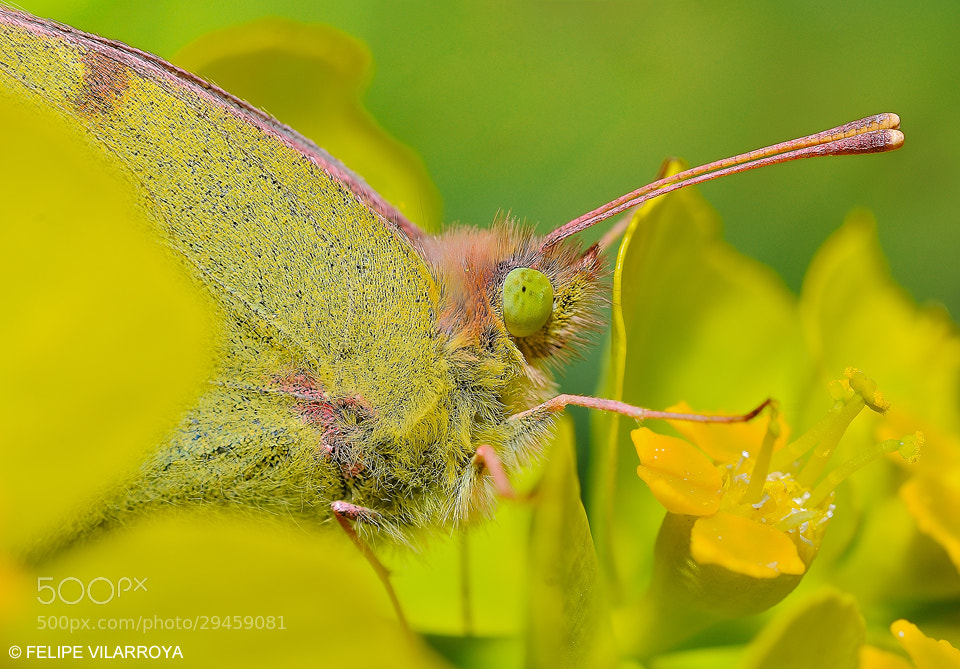 Photograph Colias croceus by Felipe  vilarroya on 500px