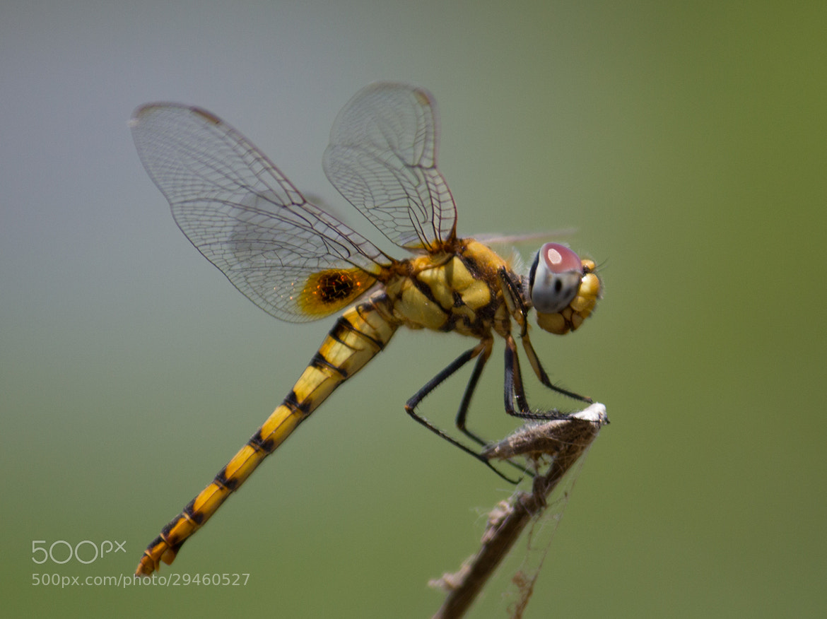 Photograph Dragon fly by Anand SundarRaj on 500px