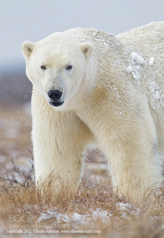 Photograph Polar bear, Hudson Bay by Charles Glatzer on 500px