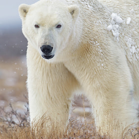 Polar bear, Hudson Bay by Charles Glatzer (Chas)) on 500px.com