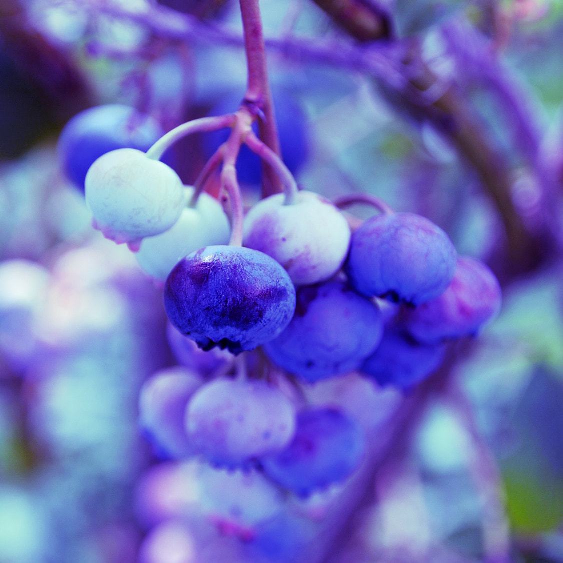 Photograph Blueberries by Karolína Švecová on 500px