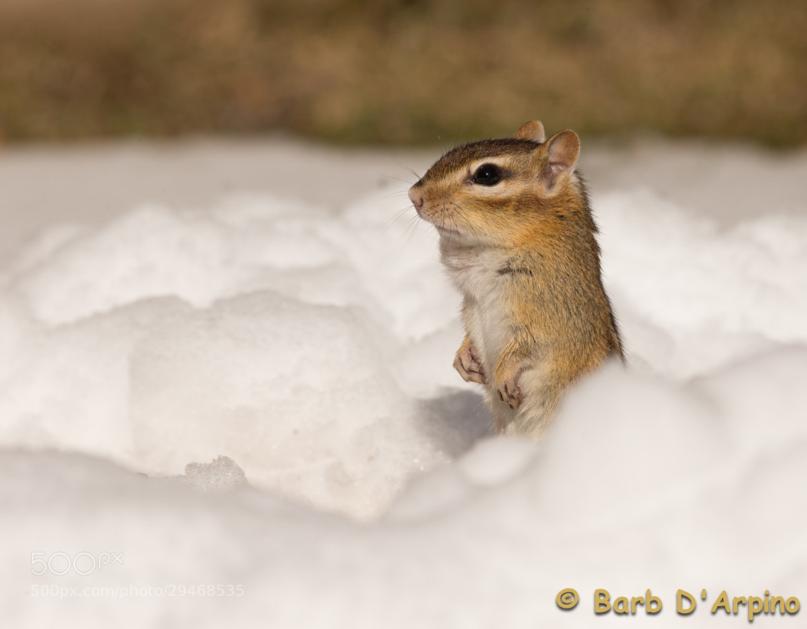 Photograph That darn groundhog was wrong again!!!! by Barb D'Arpino on 500px