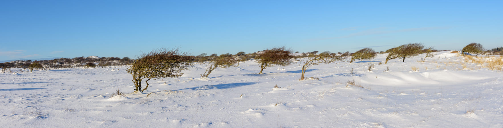 Slanted trees in northern Denmark