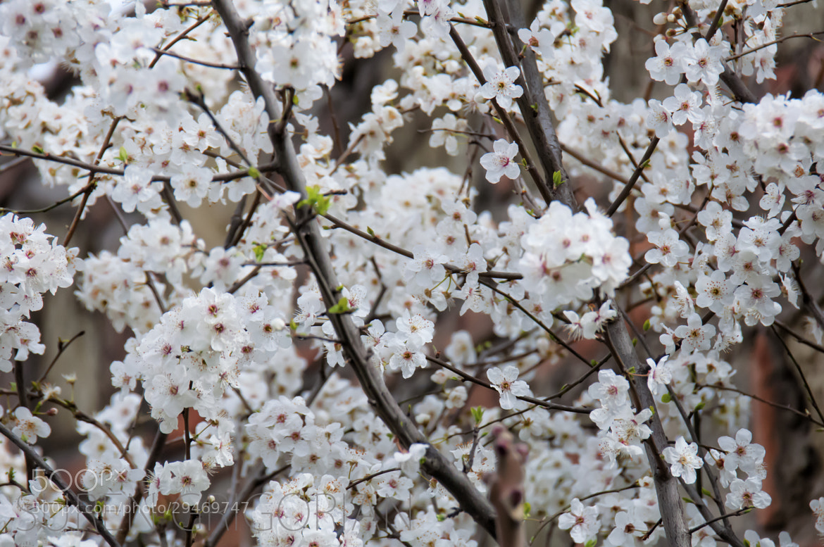 Photograph Apricot Flowers! by No Smoking on 500px