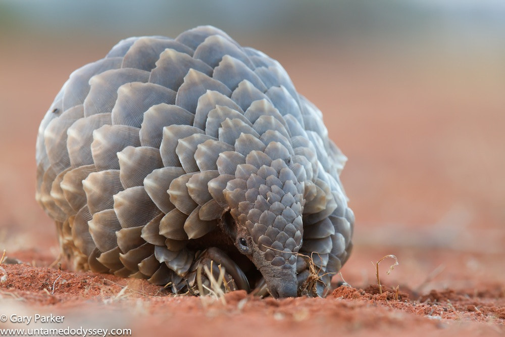 """Photograph """"Pangolin"""" by Gary Parker on 500px"""