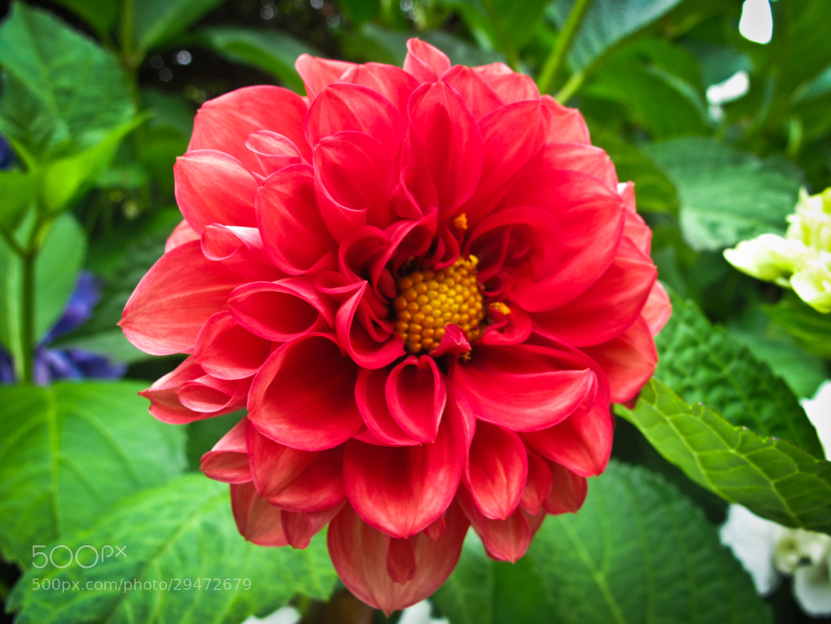 Photograph Dahlia by Adam Crins on 500px