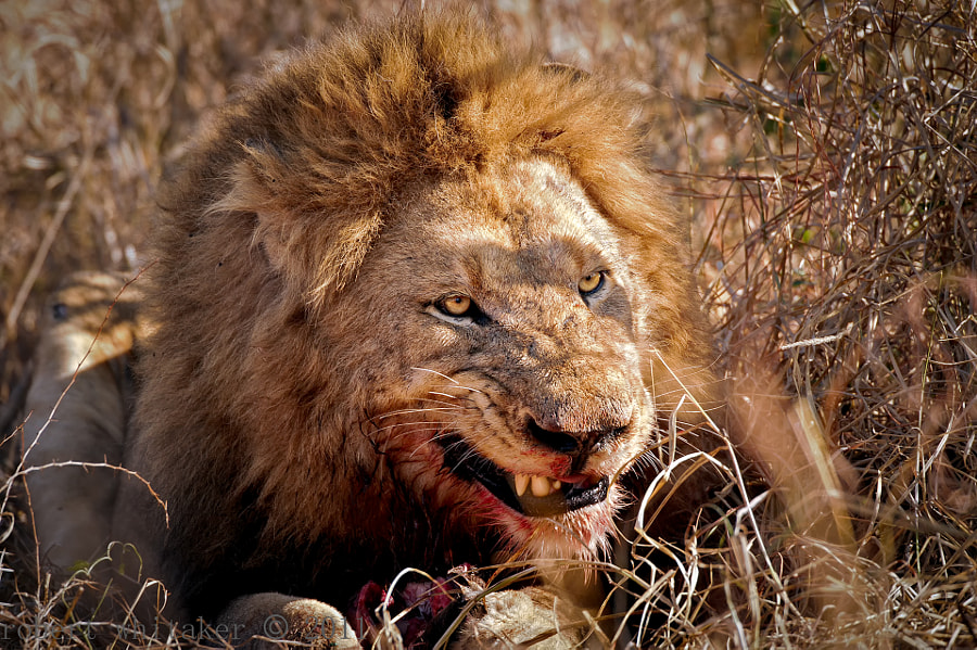 """Kruger National Park SA SABI SABI He keeps the young males """"in place"""" with the look... Works for me."""
