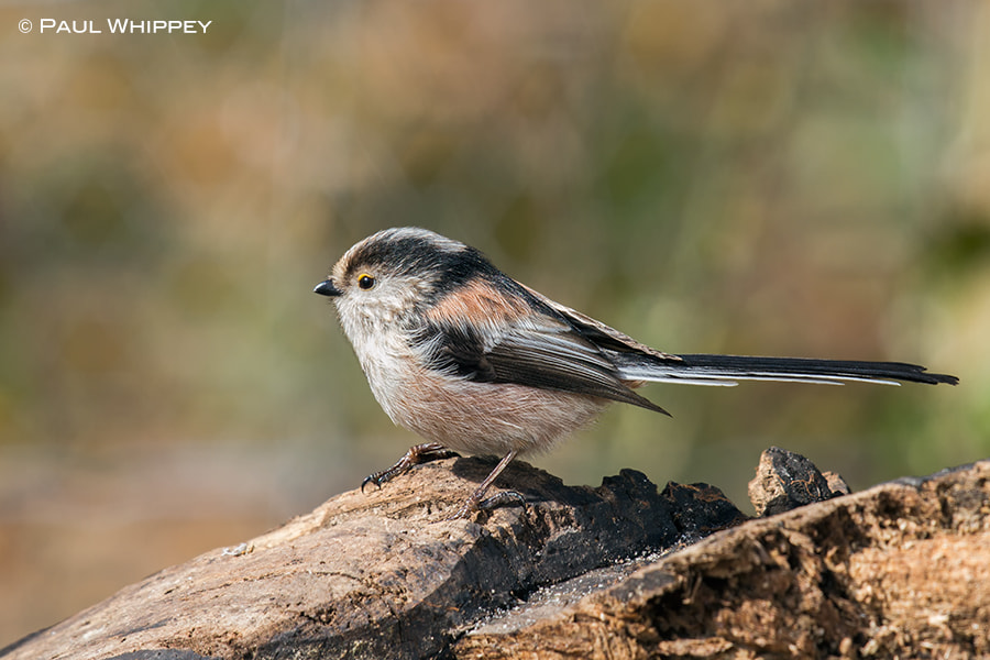 Photograph Long tailed tit (Aegithalos caudatus) by Paul Whippey on 500px