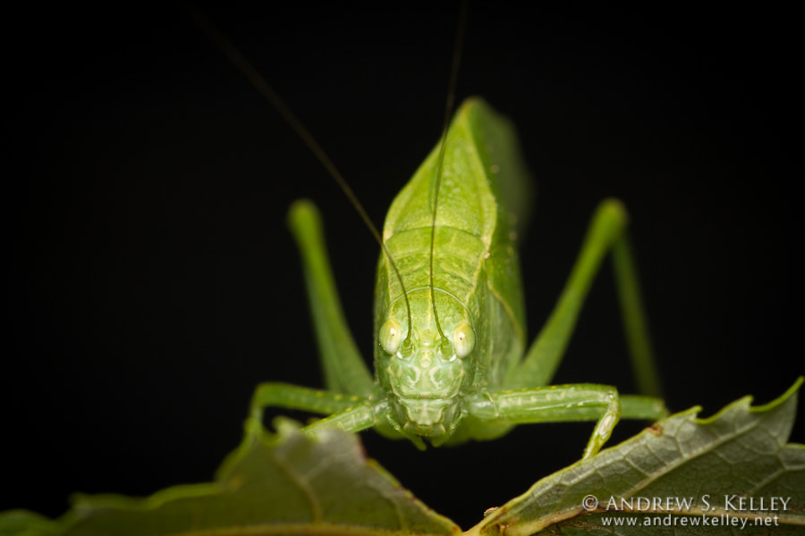Photograph Katydid by Andrew Kelley on 500px