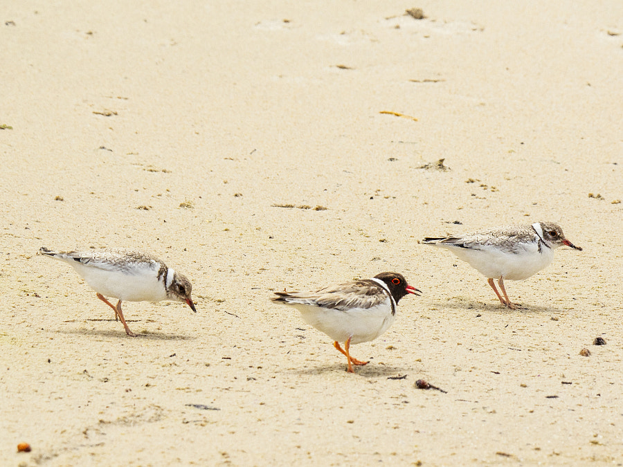 Three hooded dotterels or hooded plovers (Thinornis cucullatus). Lights Beach, Denmark, Western... by Paul Amyes on 500px.com