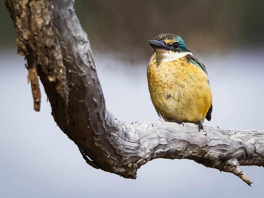 Sacred Kingfisher by Paul Amyes on 500px.com