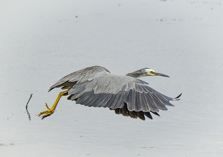 White Faced Herron by Paul Amyes on 500px.com