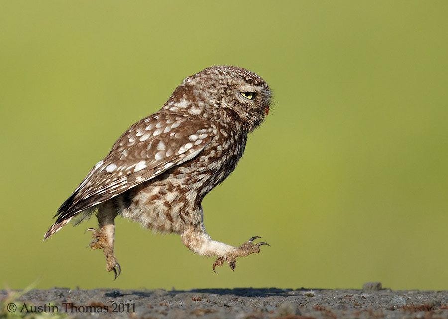 Little Owl, Keep on running...