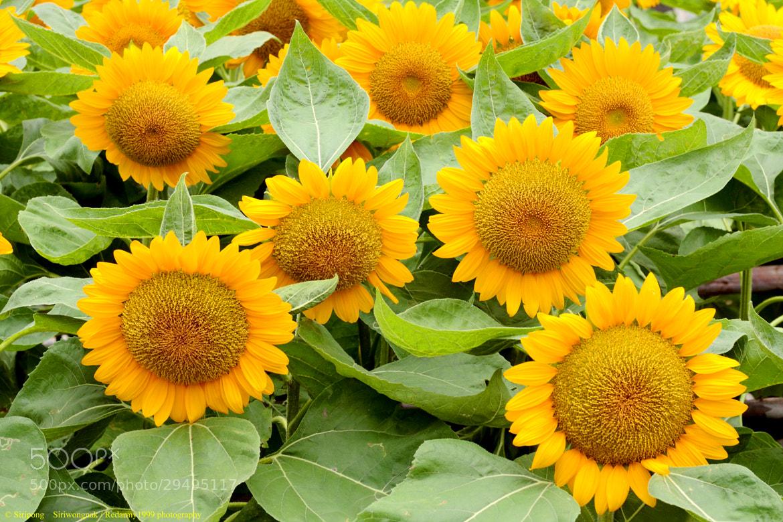 Photograph Sunflower #1 by Siripong Siriwongnak on 500px