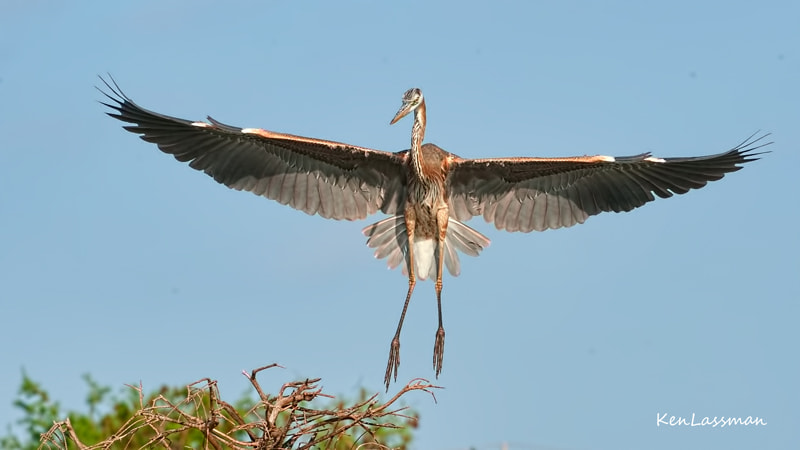 Couldn't resist the title and I certainly would not negatively joke about the Great Blue Heron..one of my favorite flight subjects.  They are huge and elegant at the same time.  They should be coming back to their nesting areas in Florida soon....that's when the fun starts.