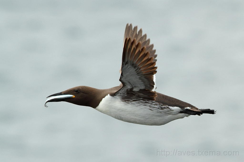 Photograph Guillemot - Arao - Uria Aalge by Txema Garcia on 500px