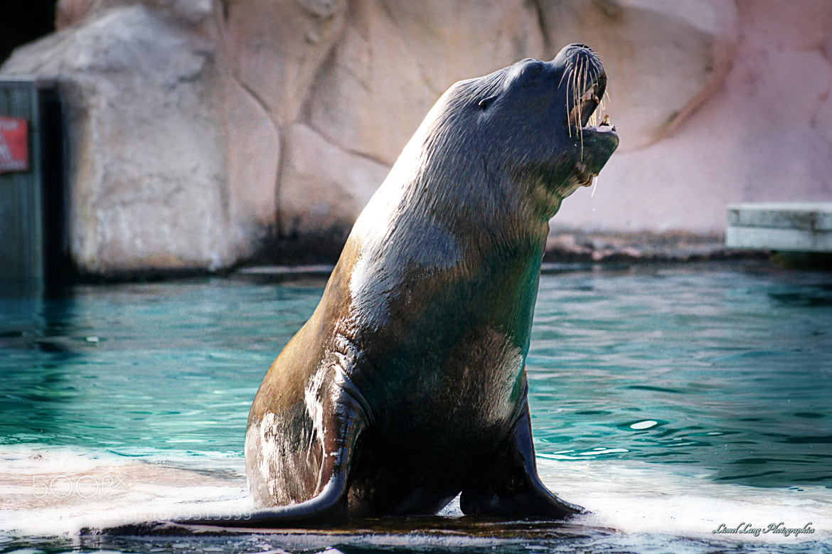 Photograph Sea lion - Otarie by Lionel Lang on 500px