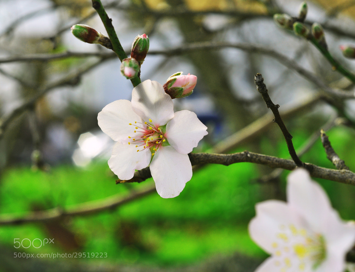 Photograph almond flower by Adriano Guerreiro on 500px