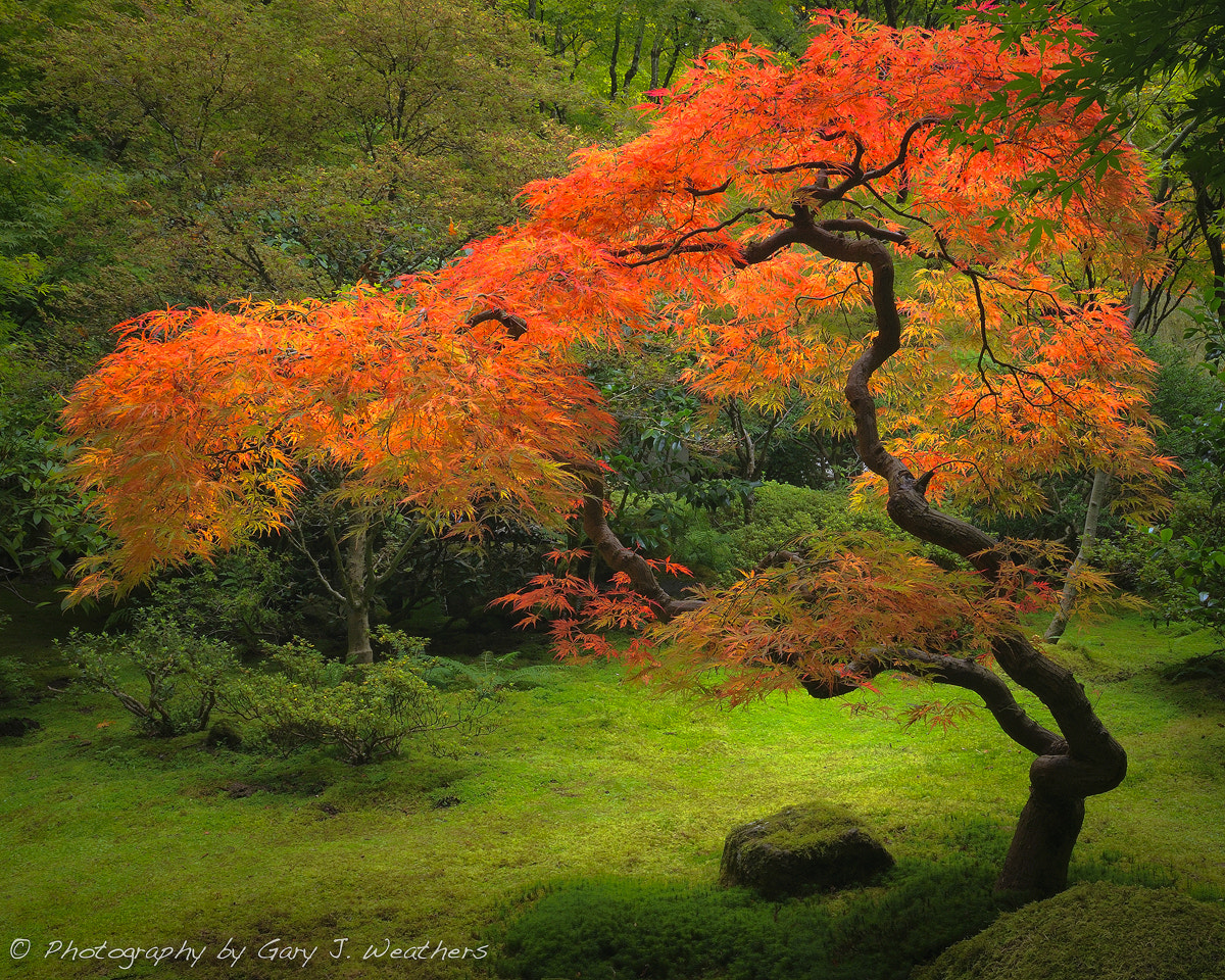 Photograph Japanese Maple II by Gary Weathers on 500px