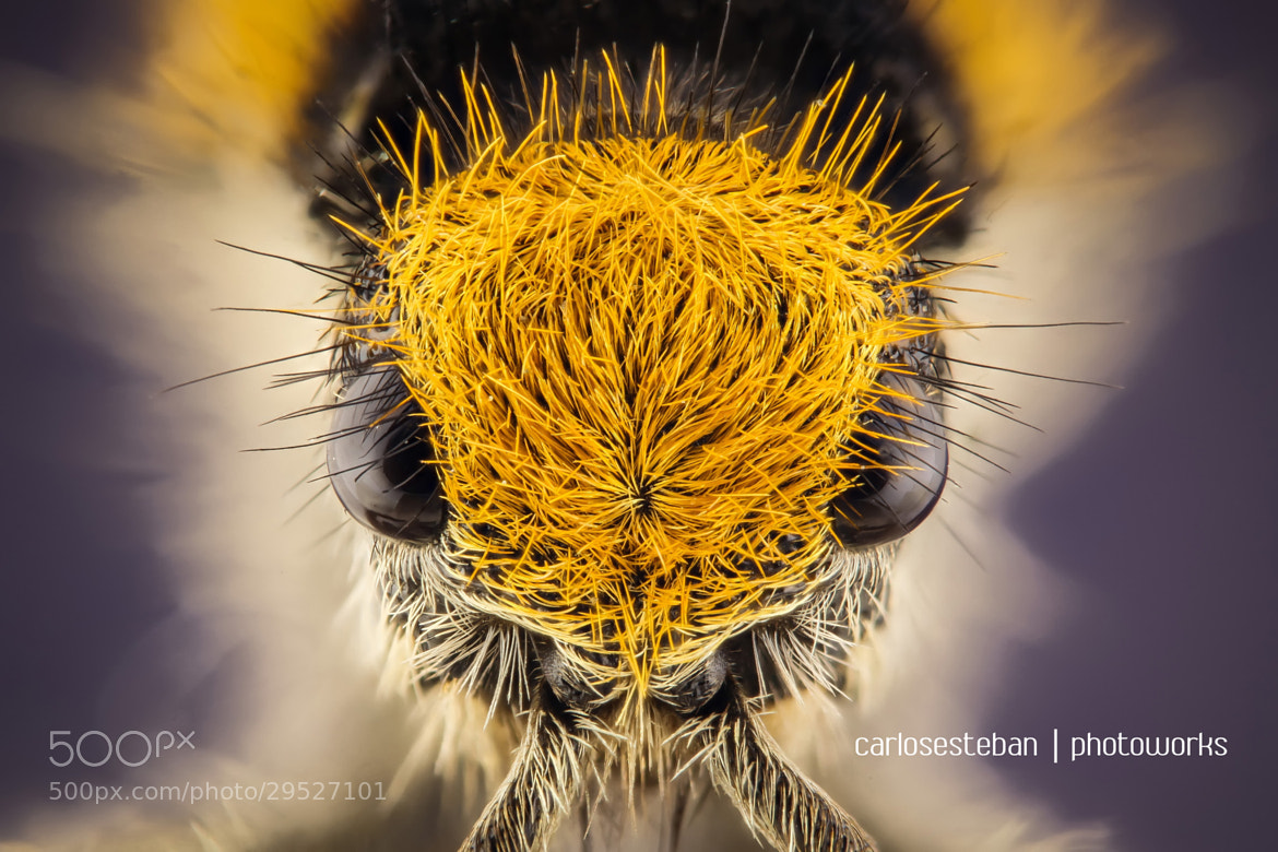 Photograph Disheveled Insect (3) by Carlos Esteban Solís Fallas on 500px