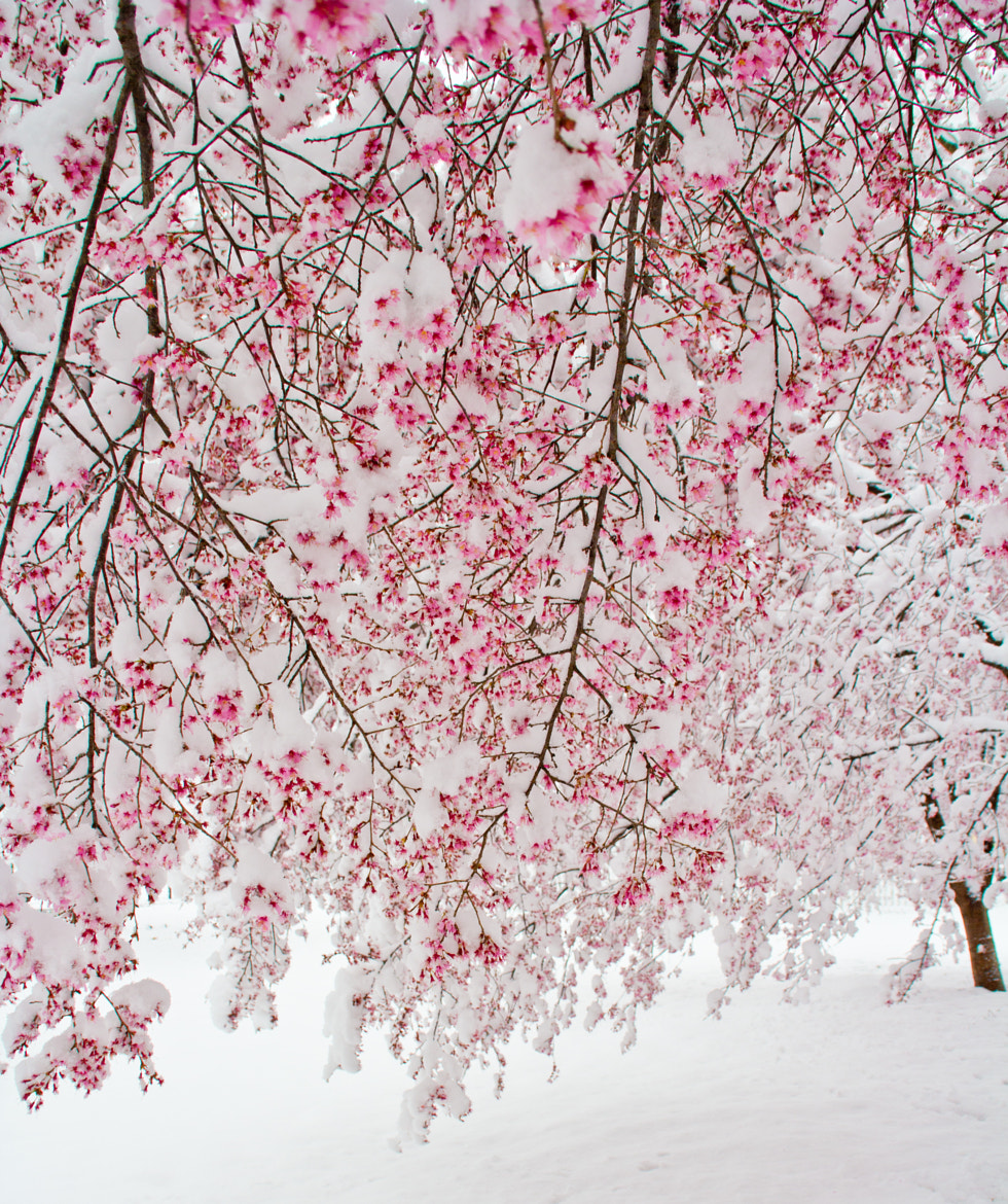 Photograph Cherry Snow Cones by LuAnn Hunt on 500px