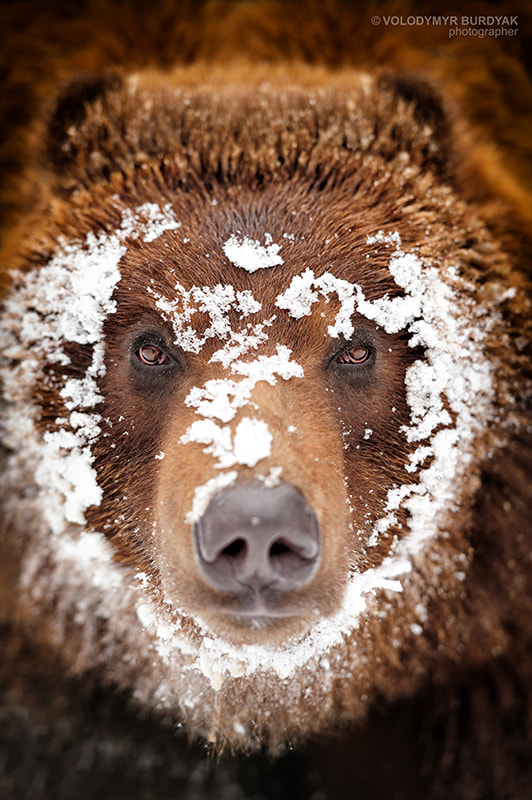Bear by Volodymyr Burdyak on 500px.com