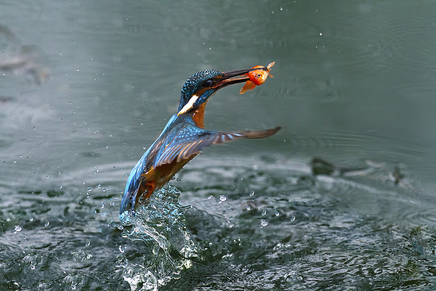 Kingfisher & Redfish by Marco Redaelli on 500px.com